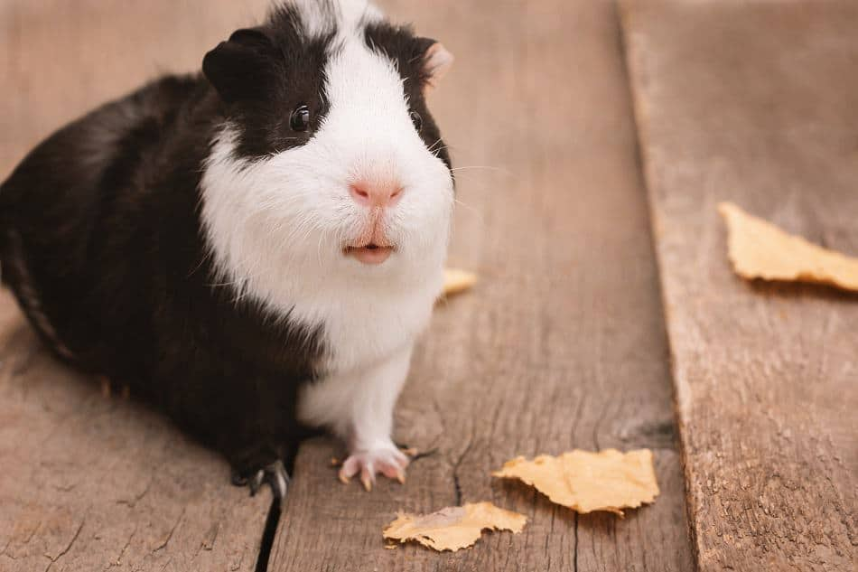 Guinea pigs get puffy over food - YouTube