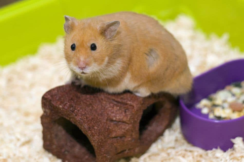 Is Aspen Bedding Actually Safe For Hamsters Pocket Sized Pets